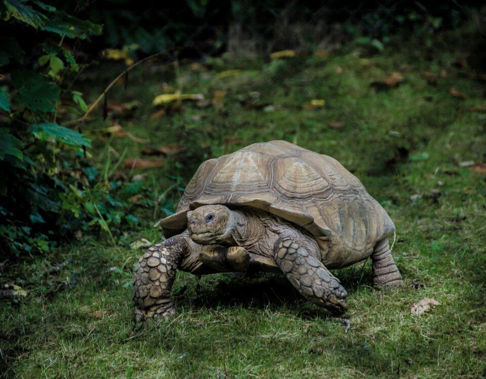 tortoise toiling along